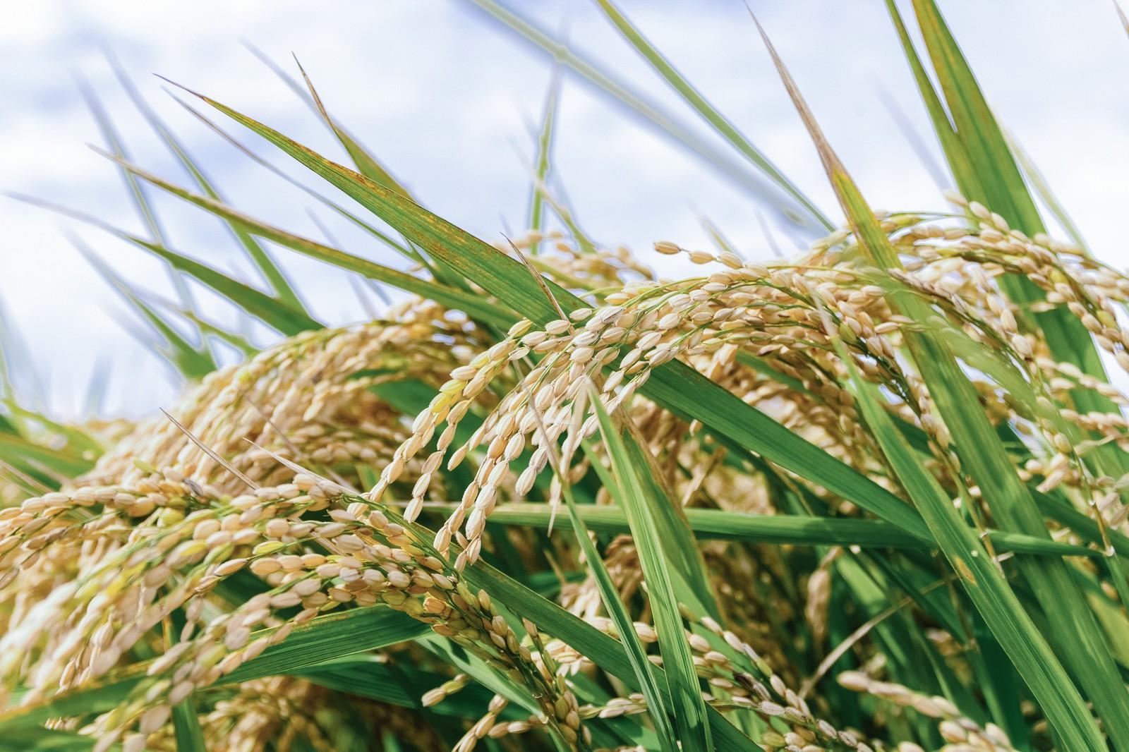 お米の品種は何種類くらいあるの?日本で有名な品種って?